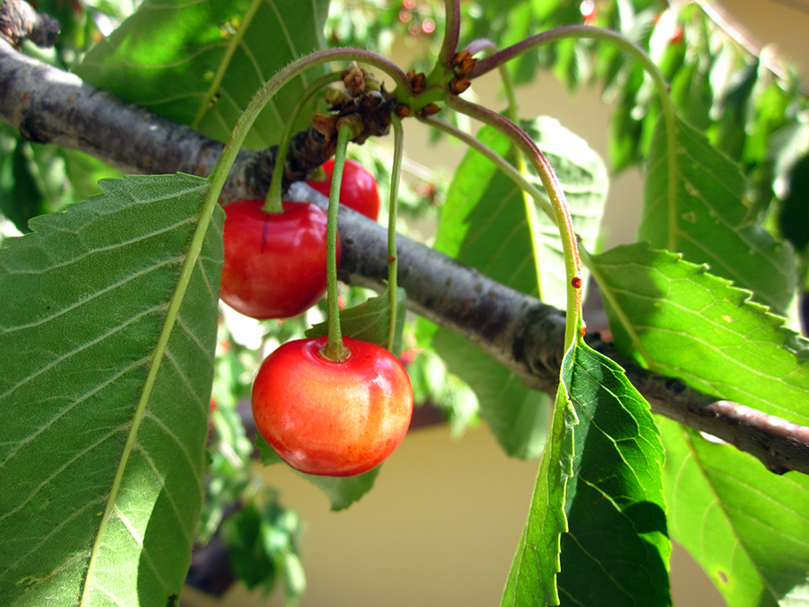 red cherry in italy