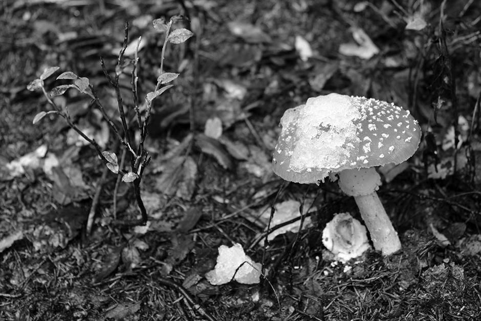 Mushroom in the black forest